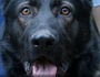 Police dog dies in the line of duty