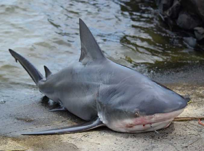 Surprise catch: this bull shark was released after it was caught on a fishing line off a tinnie.