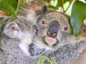 Help save koala populations