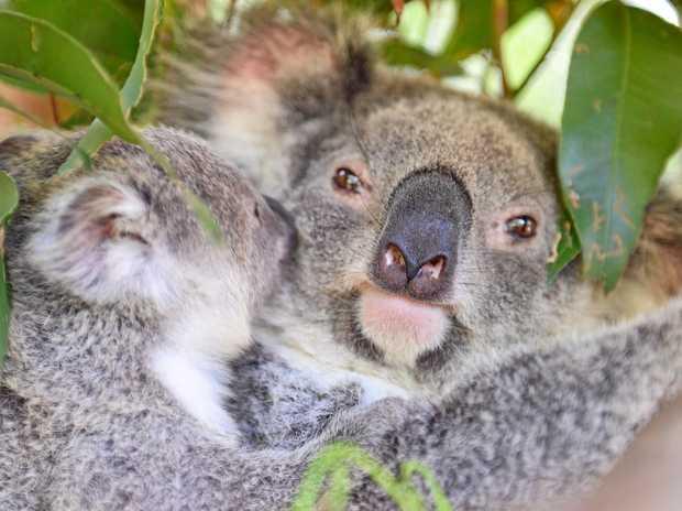 Wildlife HQ at Queensland Zoo has had its first koala joey, Amari of the season.
