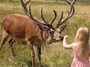 Poachers kill, decapitate and dump 'Santa's reindeer'