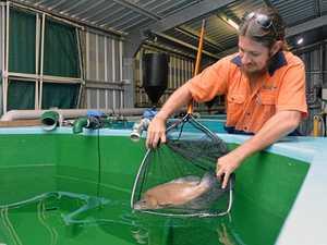 Mackay hatchery fills dams with sooty grunter