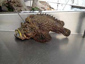 A stonefish was recently caught by a fisherman at Caloundra.    Photo Contributed