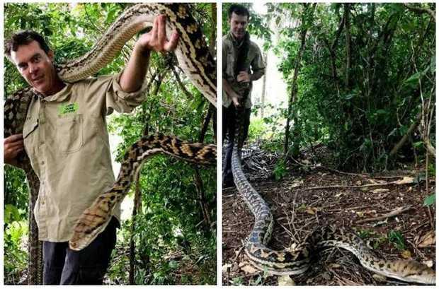 Cairns Snake Catcher Matt Hagan relocated a giant 5.2m scrub python.