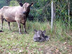 Calf leads students into farming future