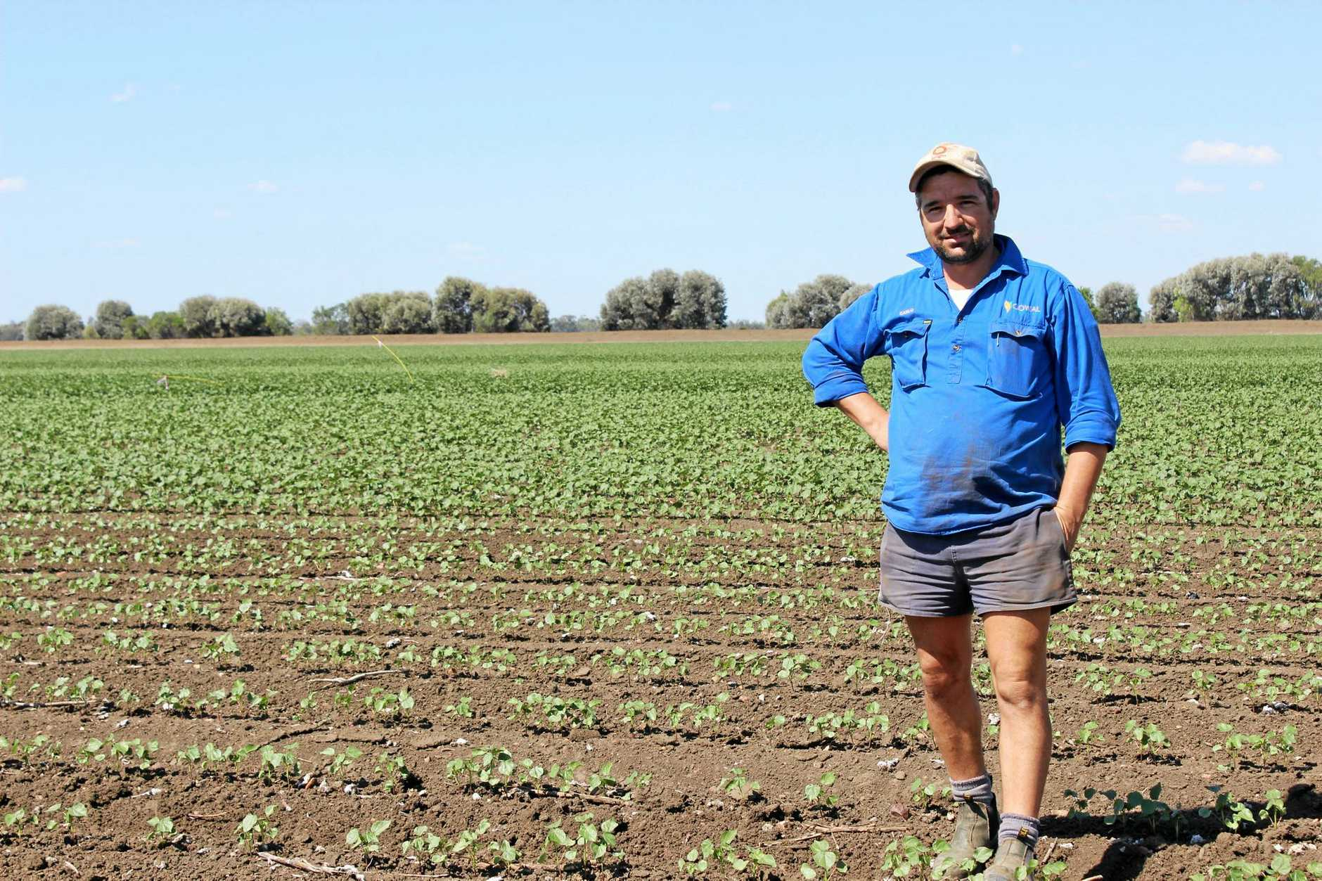 EXPERIMENTING: Orana farm manager Carlo Stangherlin with cotton in three different planting in October 2016.