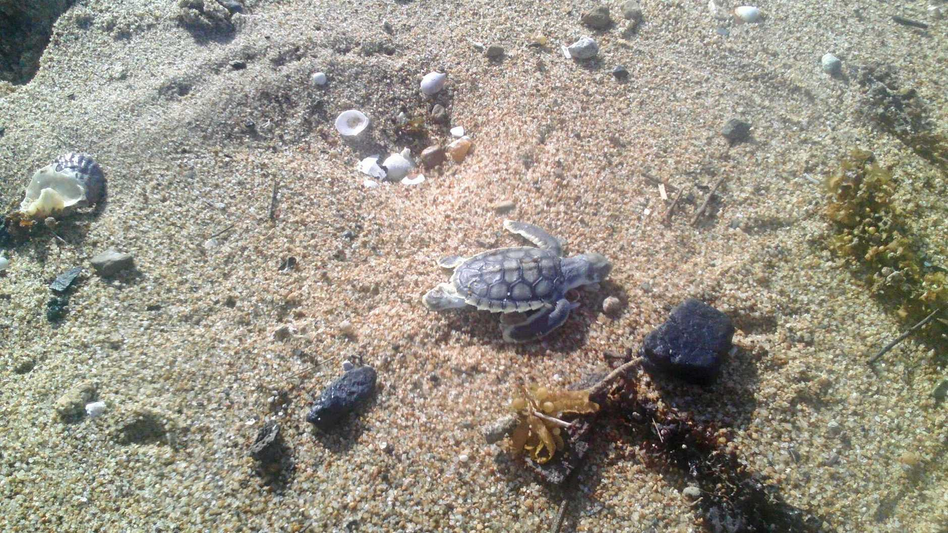 Environmental advocate Lance Payne sent this image in to WWF Australia of a turtle hatchling beside a lump of coal at East Point Beach, Mackay.