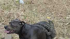 A goanna hitched a ride on Bella the staffy in Yandina on Wednesday.