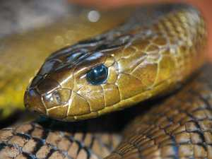 Tabulam resident has run in with deadly taipan