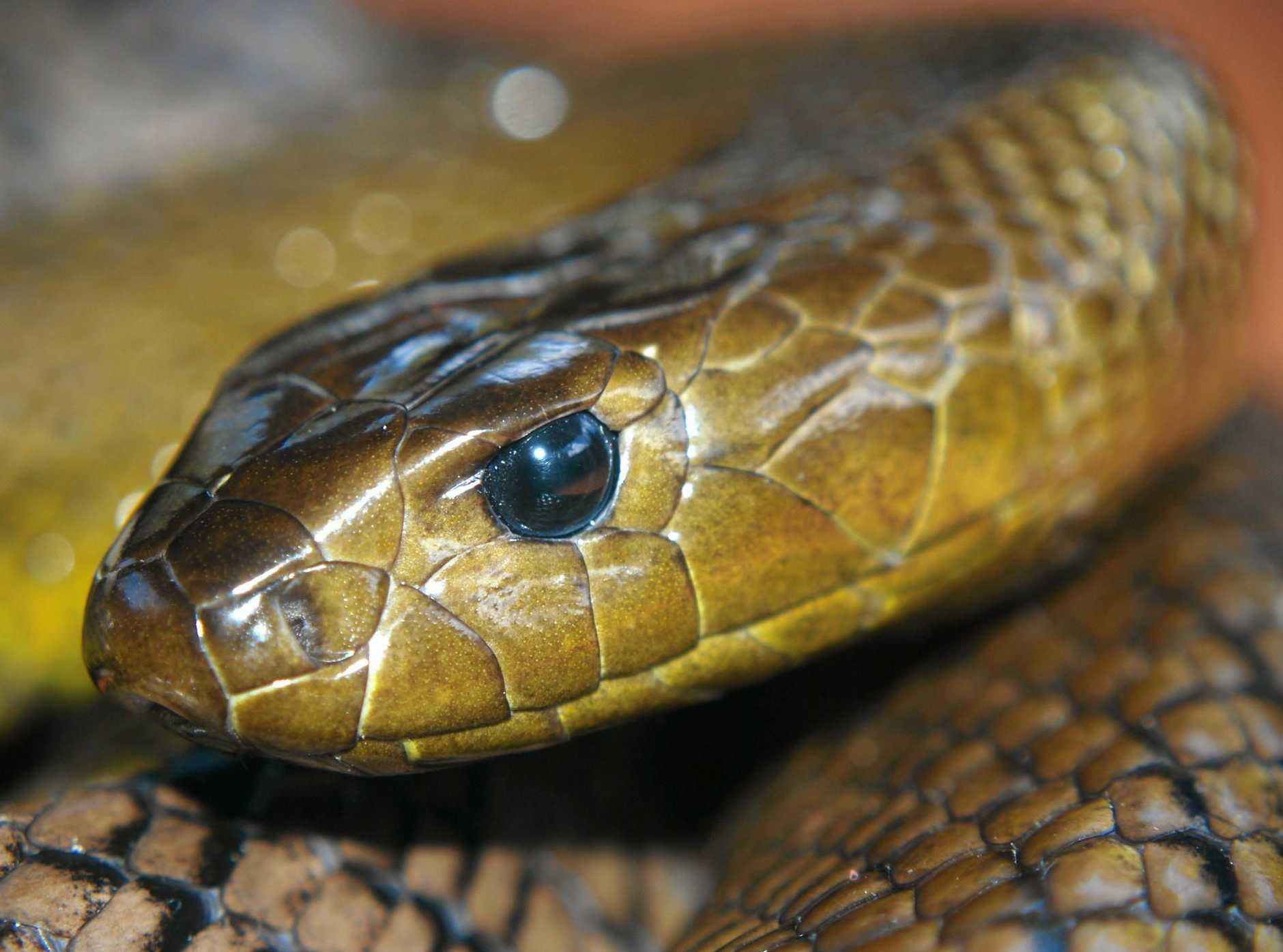 Tabulam resident shocked by taipan in long grass.