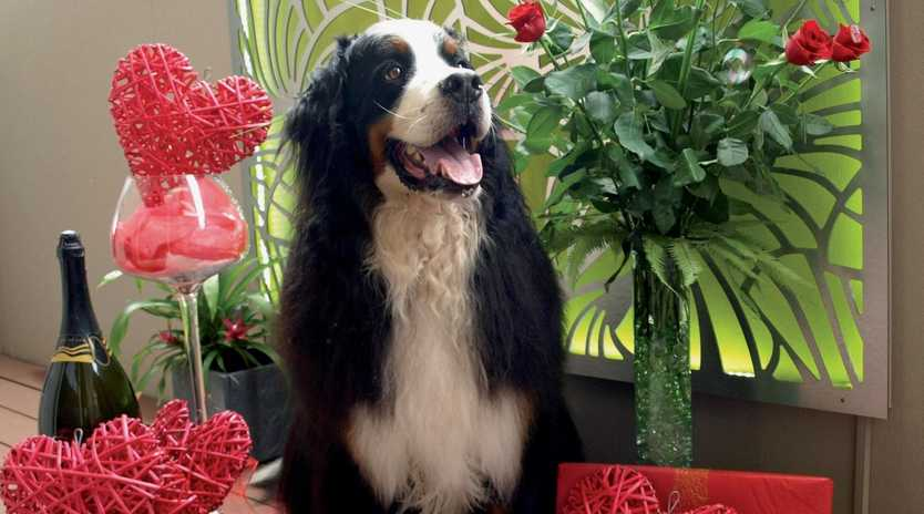 DOGGONE CUTE: Zeon the Bernese Mountain Dog has been looking forward to Valentine's Day.