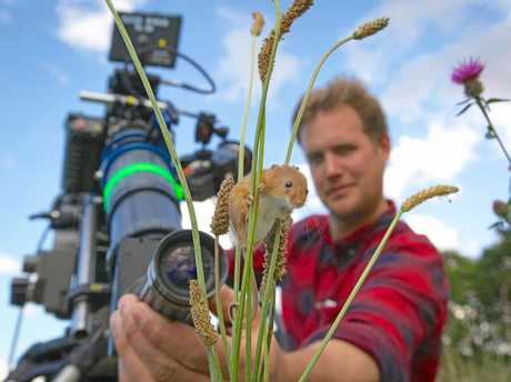 Cameraman Jonathan Jones focuses his lens on a harvest mouse climbing grass stems in a wild meadow in Norfolk.   Filming the smallest rodent in Europe, weighing less than a two pence piece, for Planet Earth II required specialised 'scope' lenses. Supplied by Channel 9.