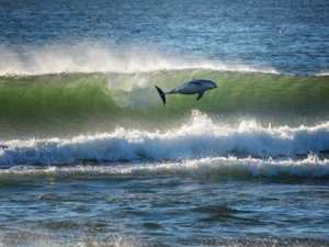 Video of dolphins 'surfing' goes viral