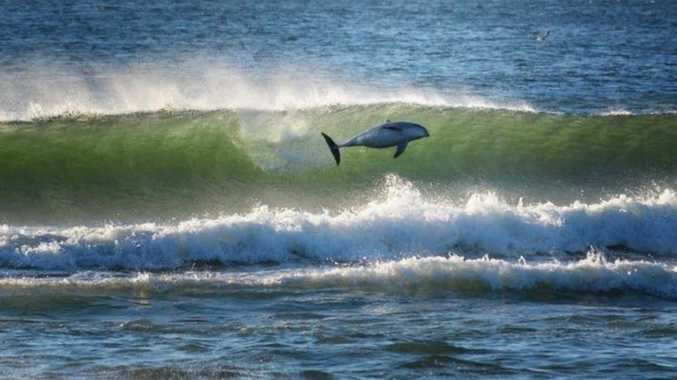 Photographer Sean O'Shea captured a video of a pod of dolphins 'surfing' waves at Byron Bay. (Instagram:@seanosheaart)
