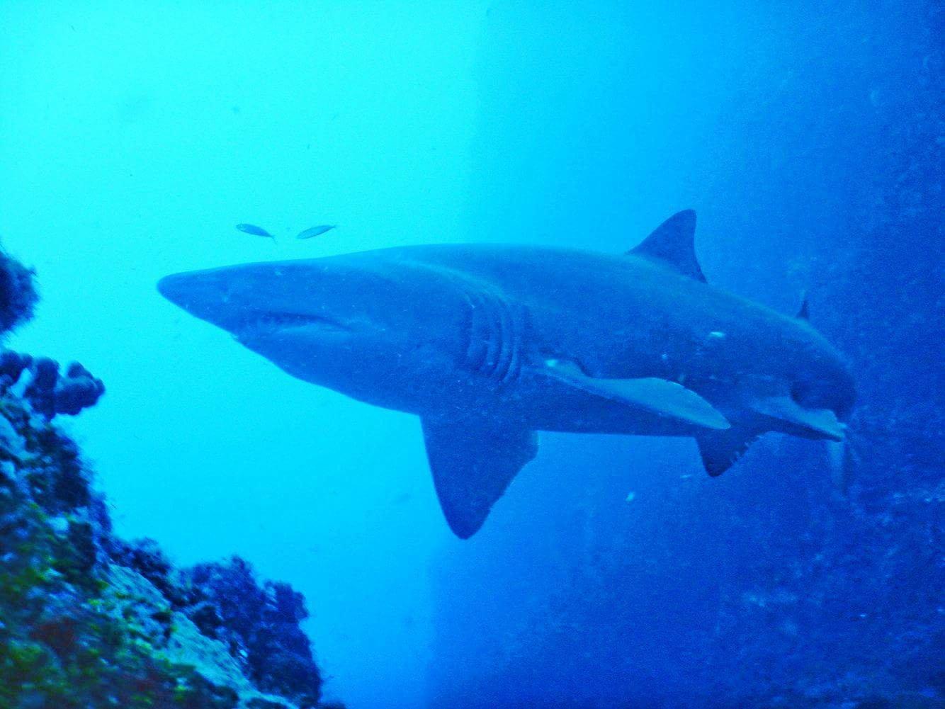 A Grey Nurse Shark swims in the water.