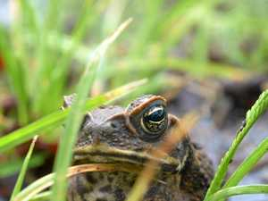 Put the golf clubs down: Newest way to cull the cane toad