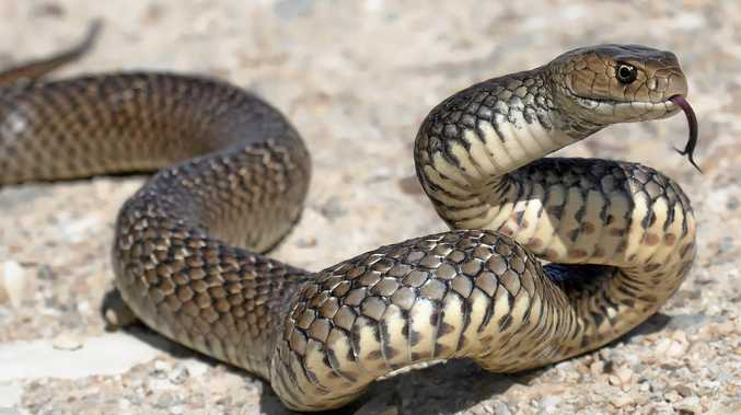 An Eastern Brown Snake.