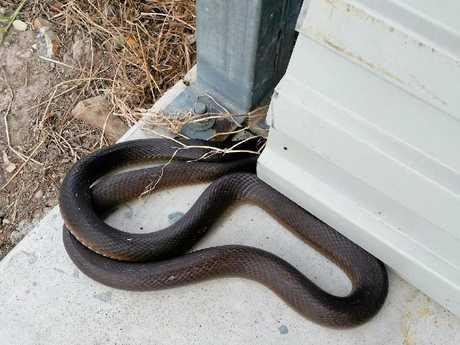A two metre coastal taipan was caught at a Fraser Coast property.