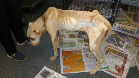 The emaciated dog was found abandoned at a West St home in Darling Heights.