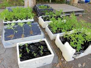 336 cannabis plants found at campsite