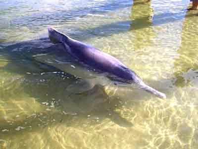 Wild Dolphin feeding at Tin Can Bay.