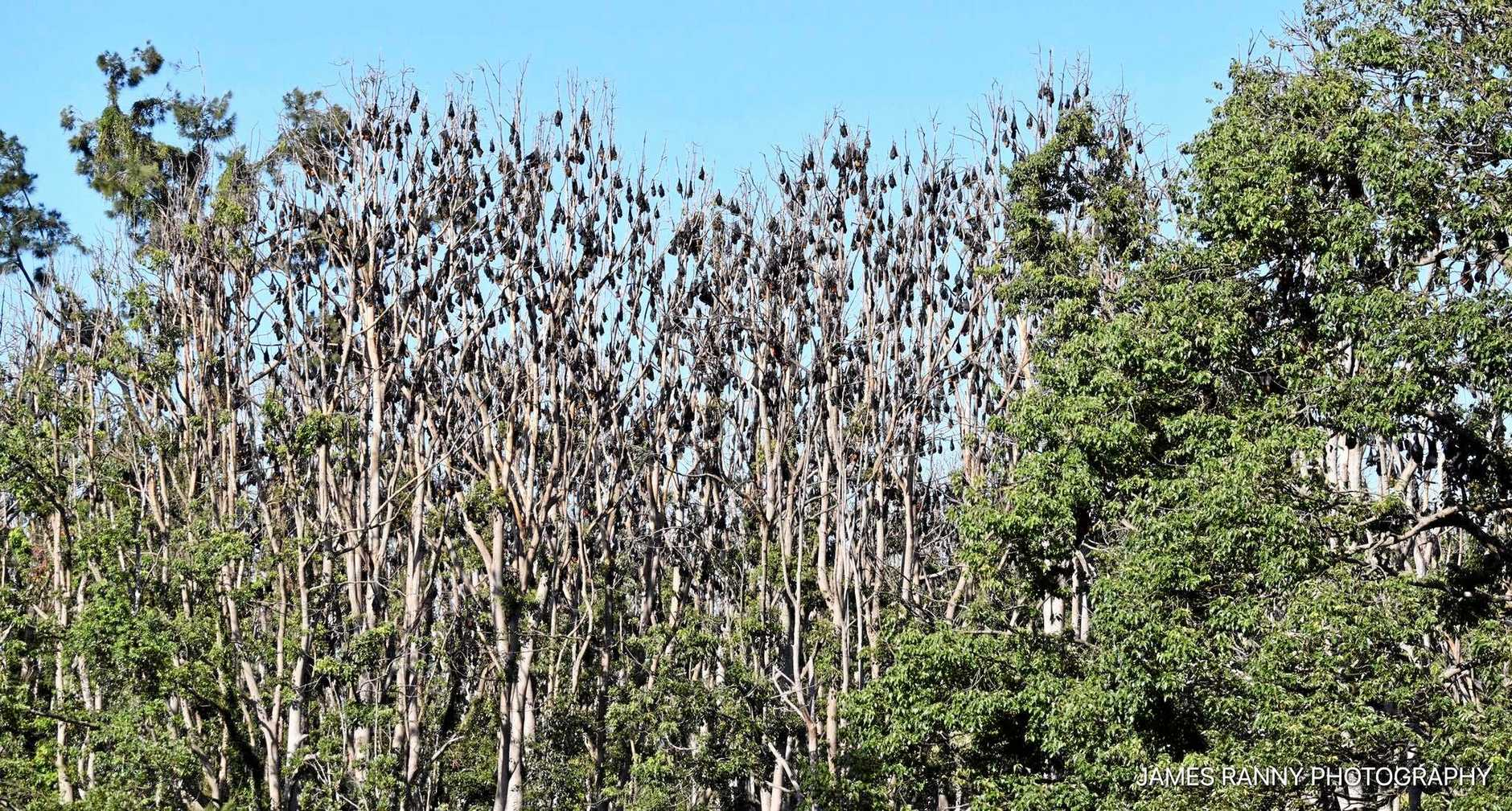 The colony of flying foxes at Glenreagh before the heatwave struck.