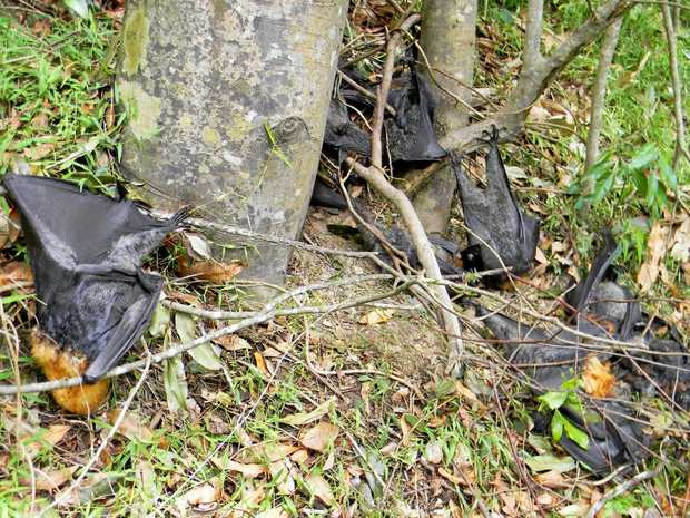 Dead flying foxes lie where they dropped at the base of their trees.