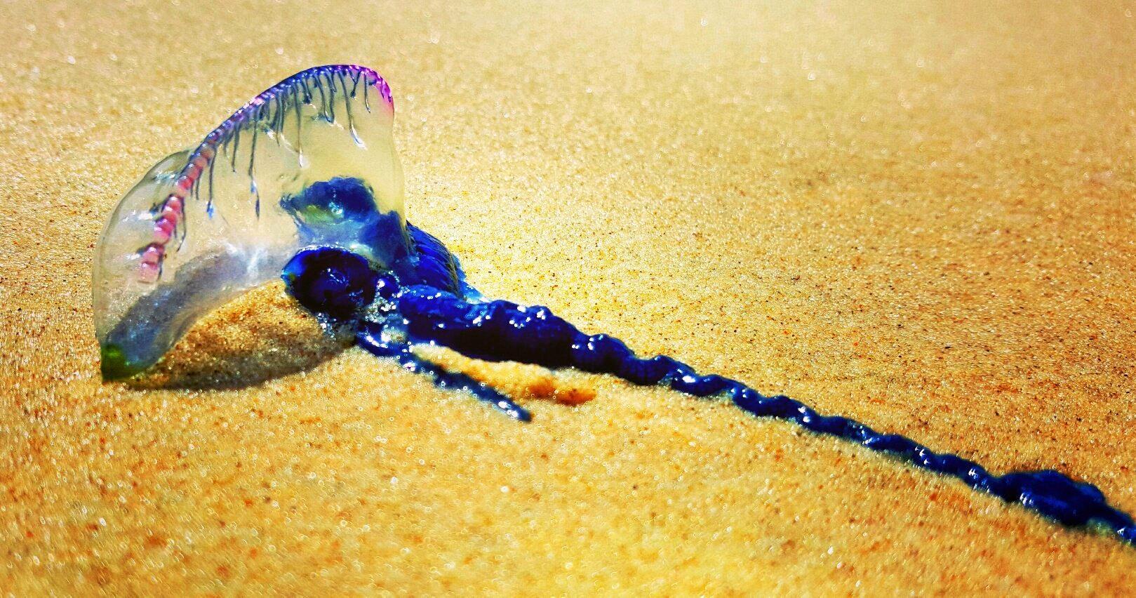 A boy has been stung by a bluebottle on a Coast beach.