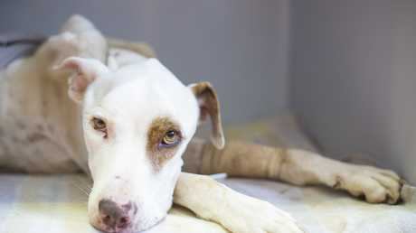 The bull arab dog that was left abandoned in a Darling Heights unit has died.
