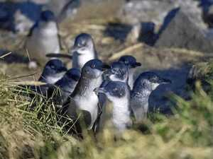 Dunedin's Blue Penguins