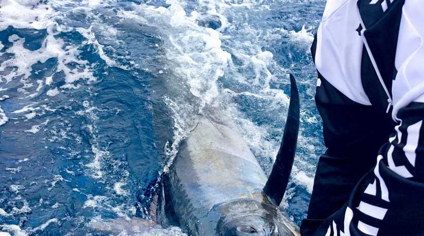 CATCH AND RELEASE: Skipper Marcus Blackwell swimming Hemingway's 120kg black marlin before release last Wednesday