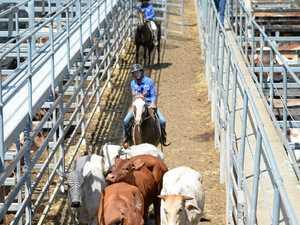 Good quality cattle despite dry conditions around CQ
