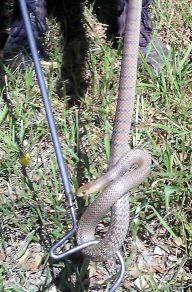 Kane Anderson caught this eastern brown snake, approximately one metre long, in the store room of a grocery store on the Northern Rivers.