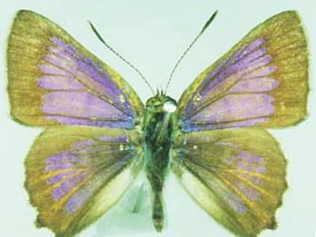 Photo of the bulloak jewel butterfly.