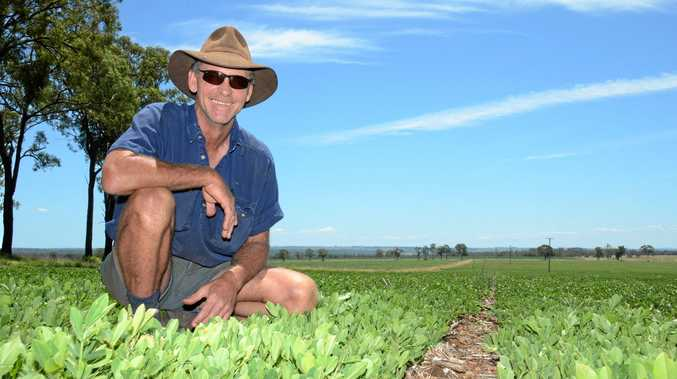 DESPERATE TIMES: Kumbia peanut farmer Julian Cross says if the crop doesn't get some more rain in the next two or three weeks he'll have to straight bale it and sell it as hay.