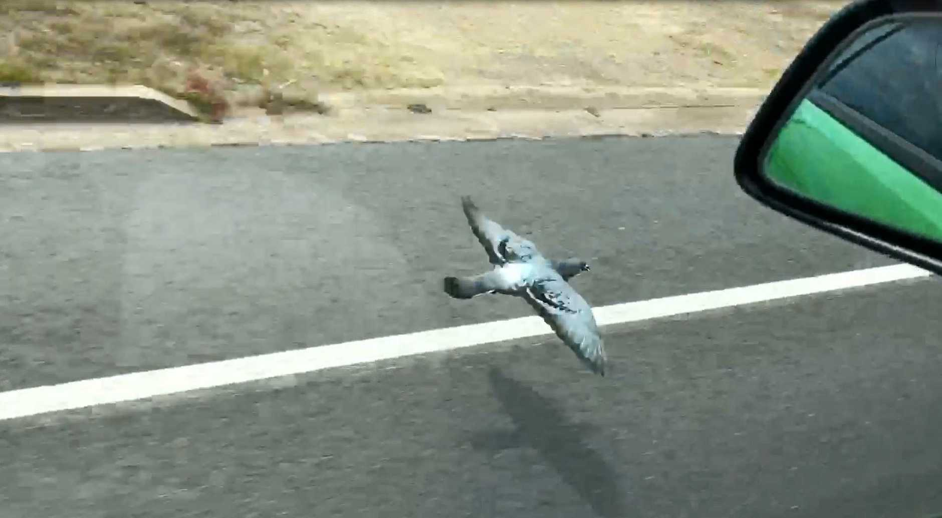Sirena Butcher and her partner caught incredible footage of the racing pigeon along Saltwater Creek Rd on Sunday morning.