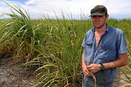 NO RAIN: Moore Park Cane grower Nick Glass is struggling to grow a decent crop in the hot dry weather.