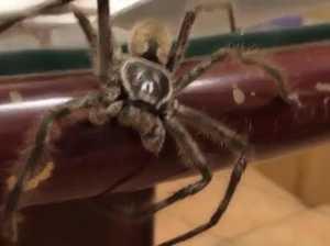 huntsman spiders