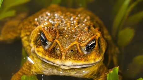 Cane Toad showing the distinctive bony M-shaped ridge across the front of the snout