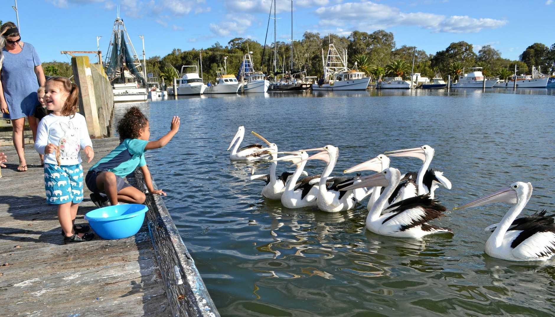 The Evans Head Fishermen's co-op pelican feeding