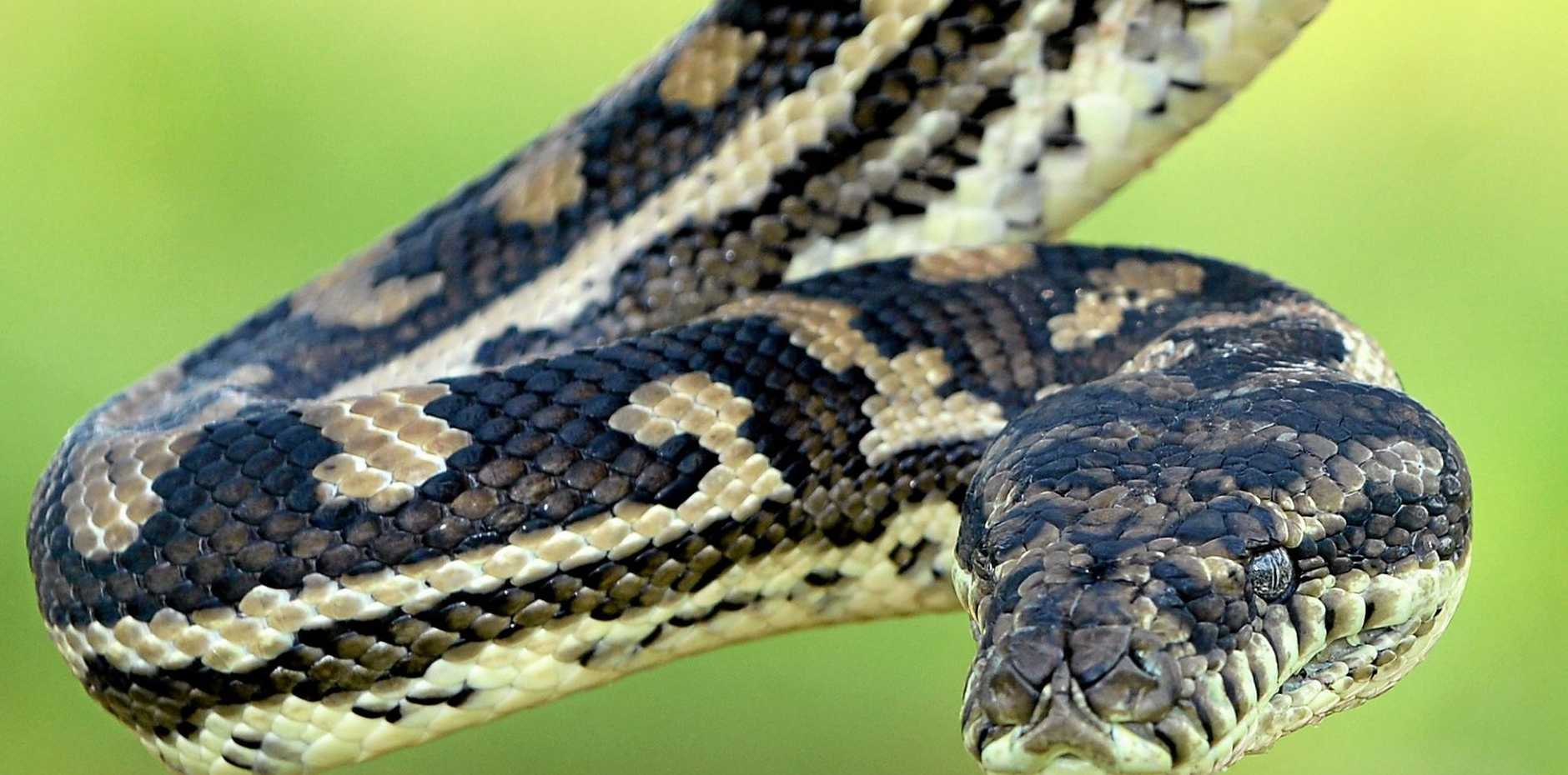 Hospital figures show 32 people have been bitten by snakes in Central Queensland this year.