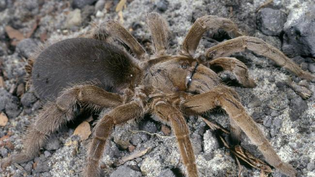 The tarantula. Picture: Queensland Museum