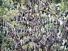 OVER-crowded flying fox population must fly out of town - for our own good, and theirs.