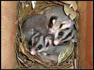 Funds support work with squirrel gliders
