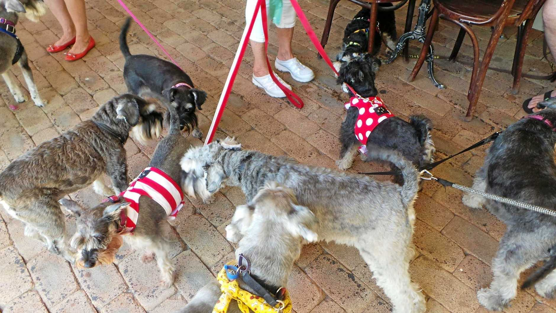 MEET UP: Schnauzers sniff each other out at the Apollonian Hotel.