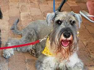 A stylish schnauzer relaxes on the patio.