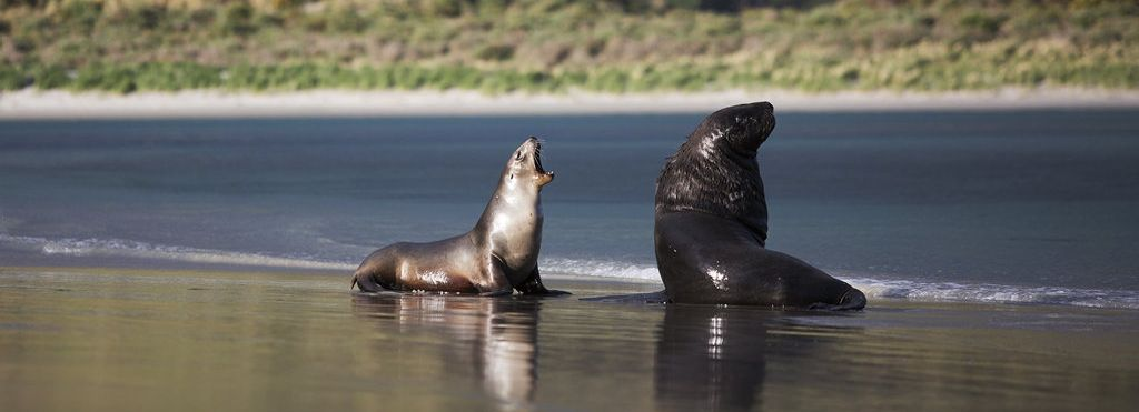 The super cute fur seals are found on many beaches and rocks around Dunedin.