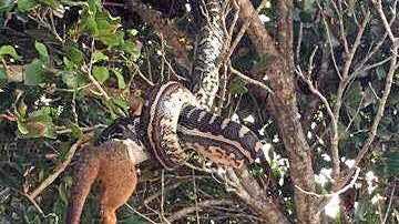 A python eating a possum at Byron Bay.