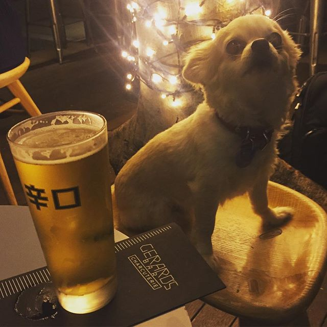 Pancho the chihuahua loves to hit up dog friendly spots in Brisbane.... but what about on the Sunshine Coast?