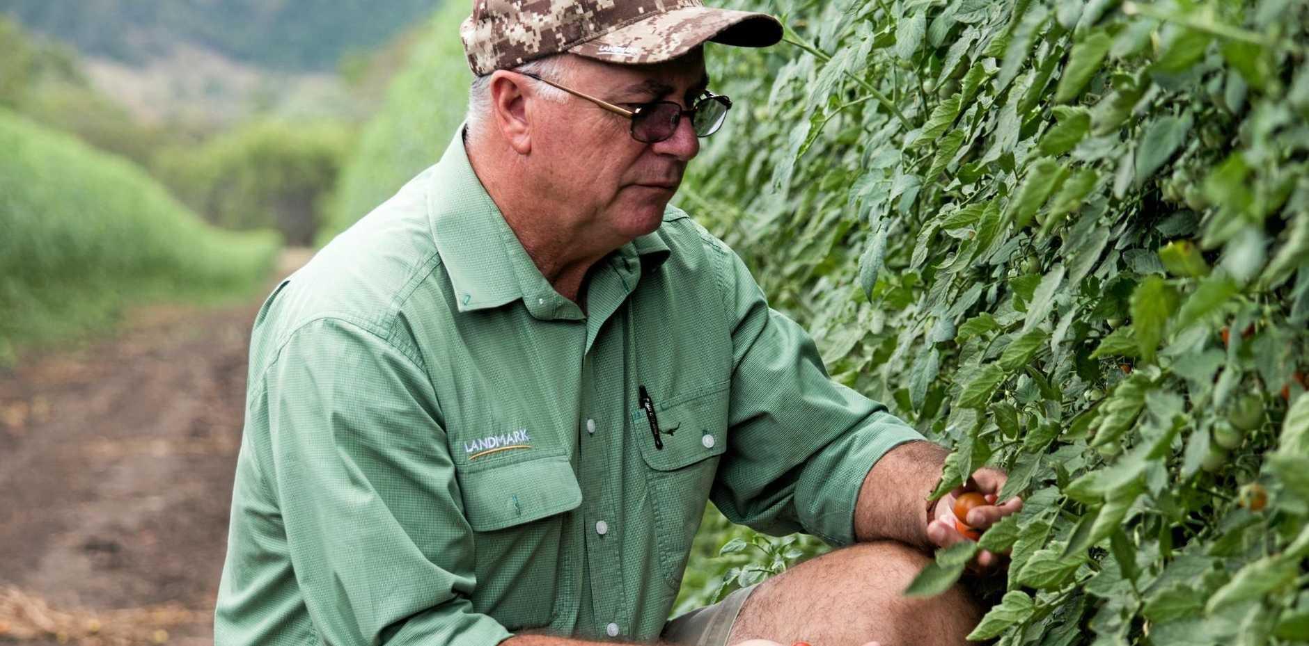 DOUBLE CHECKING: Landmark agronomist Nev Watts checks on local tomato vines for any irregular pests and viruses.
